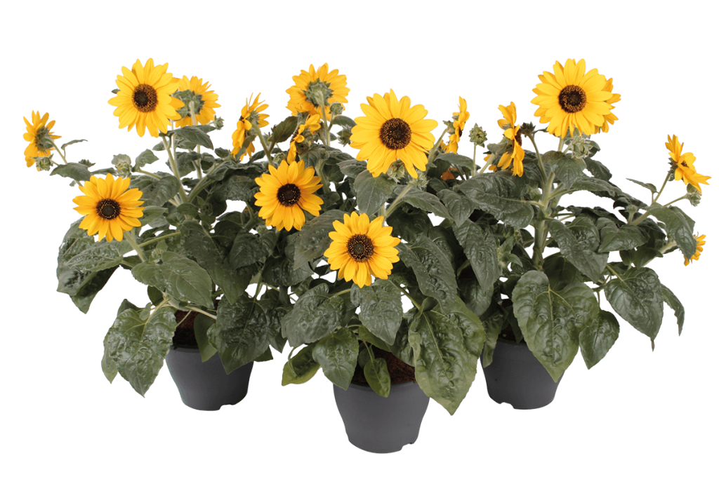 Sunfinity Yellow Helianthus
