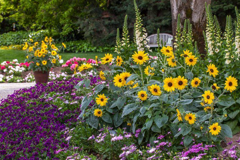 Sunfinity in garden