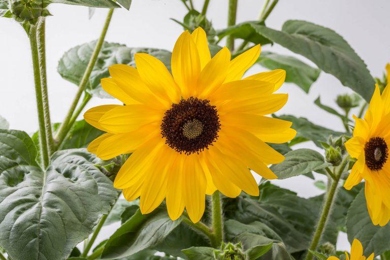Sunfinity sun flowers